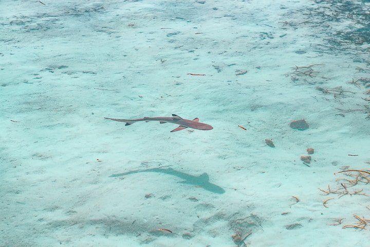 Maldivler gezi notları - köpek balığı
