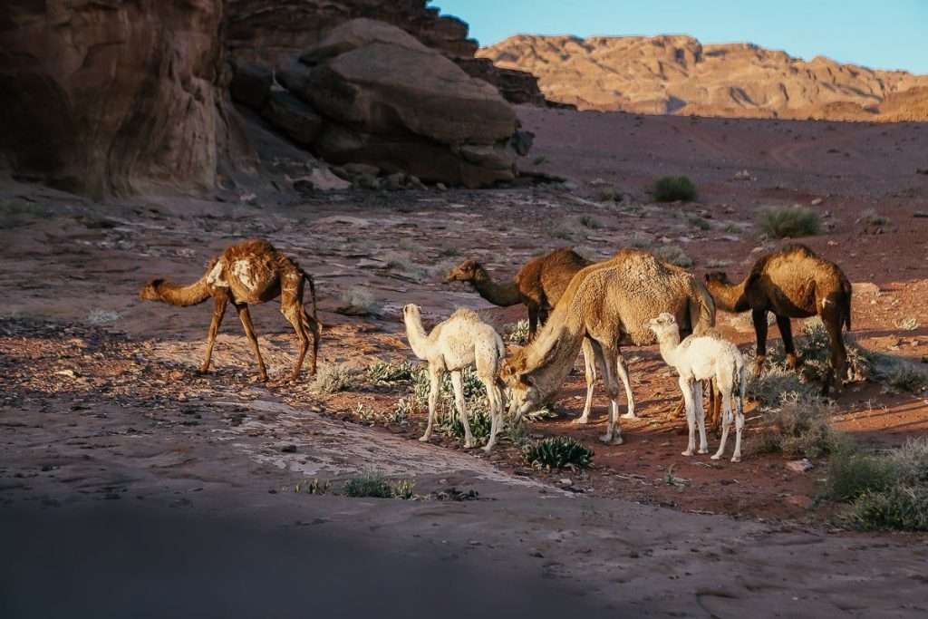 çölde gün batımı yavru deve